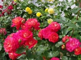 Как правильно обрезать розы после цветения: грубейшие ошибки неопытных розоводов