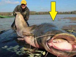 Рыбаки выловили громадного 100-летнего сома. Что нашли у него в брюхе