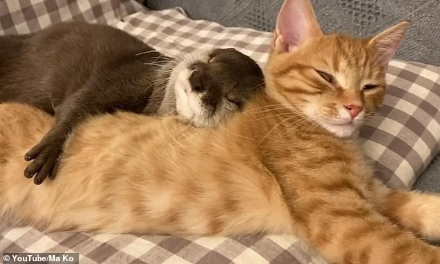 Sakura the otter cuddles up to Mochi the cat as the animals sleep in adorable footage taken in Japan