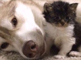 Собака заменила котенку маму. Котенок Гав, считает себя собакой. До чего же мило