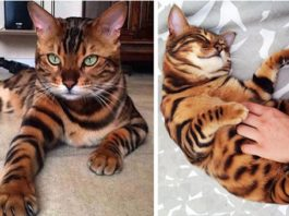 Знакомьтесь, Тор, бенгальская кошка, которая является одной из самых редких пород