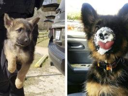 12 фото щенков-очаровашек немецкой овчарки